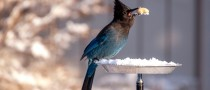 PD: There is an image of a beautiful blue and black bird who has landed on a flat dish bird feeder in the middle of winter. The feeder is covered with snow and the bird has selected a peanut in its shell to eat holding it firmly in its beak.